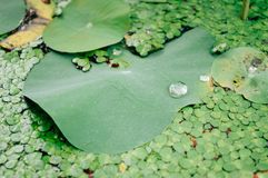 Gotas de água nas folhas dos lótus foto de stock