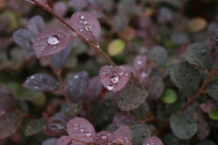 Gotas de água nas folhas roxas Imagem de Stock