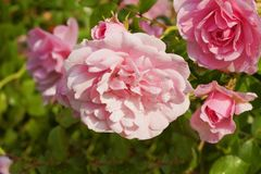 Gotas de agua chispeantes de las rosas rosadas en jardín Imagenes de archivo