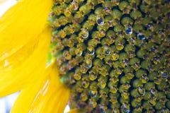 Gotas de agua del girasol Imagen de archivo libre de regalías
