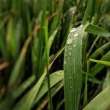 Gotas de agua del verde de hierba de la naturaleza Fotos de archivo libres de regalías