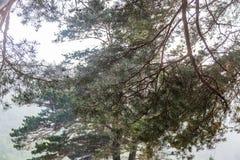 Gotas de agua en agujas del pino durante la lluvia, Altai, Rusia foto de archivo