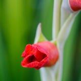 Gotas de agua en el brote de flor rojo del gladiolo Fotos de archivo