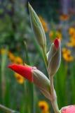Gotas de agua en el brote de flor rosado del gladiolo Imagen de archivo libre de regalías