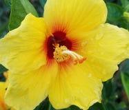 Gotas de agua en hibiscos amarillos Fotografía de archivo libre de regalías