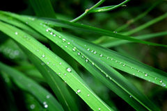 Gotas de agua en hierba Imagen de archivo libre de regalías