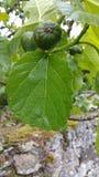 Gotas de agua en higo verde Fotografía de archivo libre de regalías