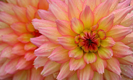 Gotas de agua en la flor rosada y amarilla Imagenes de archivo