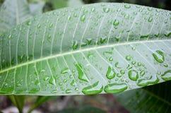 Gotas de agua en la hoja del Frangipani Foto de archivo libre de regalías