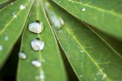 Gotas de agua en las hojas de la flor del Lupine Fotografía de archivo libre de regalías