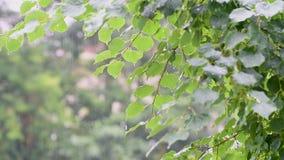 Gotas de agua en las hojas almacen de video