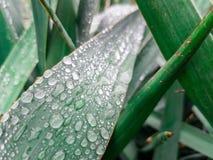 Gotas de agua en las hojas de plantas ornamentales Fotografía de archivo libre de regalías