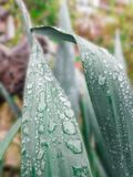 Gotas de agua en las hojas de plantas ornamentales Fotografía de archivo