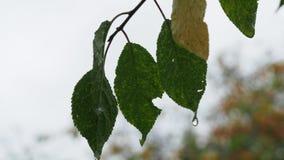 Gotas de agua en las hojas verdes y amarillas mojadas en lluvia almacen de video