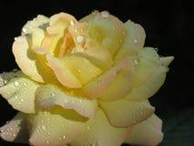Gotas de agua en Rose Imagenes de archivo