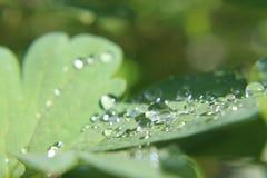 Gotas de agua en trébol Imagenes de archivo