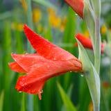 Gotas de agua en un primer rojo de la flor del gladiolo Fotografía de archivo