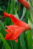 Gotas de agua en un primer rojo de la flor del gladiolo Fotos de archivo