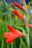 Gotas de agua en un primer rojo de la flor del gladiolo Imagenes de archivo