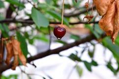 Gotas de agua en una cereza en el jardín Cereza sabrosa jugosa fotografía de archivo