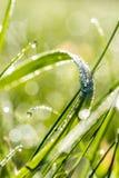 Gotas de agua en una cuchilla de la hierba verde fresca Fotos de archivo libres de regalías