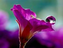 Gotas de agua en una flor delicada de la petunia Imagenes de archivo