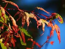 Gotas de agua sticked en las flores rojas Foto de archivo