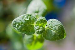 Gotas de Ater, orvalho nas folhas verdes macias, fundo abstrato, Foto de Stock