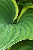 Gotas de la hoja y del agua del Hosta Fotos de archivo