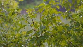 Gotas de la lluvia del verano en las hojas verdes Lluvia en el bosque metrajes