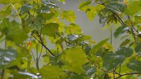 Gotas de la lluvia del verano en las hojas verdes almacen de metraje de vídeo