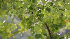 Gotas de la lluvia del verano en las hojas verdes Lluvia en el bosque almacen de video