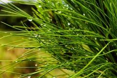 Gotas de lluvia de la mañana en agujas Fotografía de archivo libre de regalías