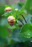 Gotas de lluvia en el brote de flor fotos de archivo