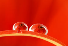 Gotas de lluvia en el pétalo de la flor Fotos de archivo libres de regalías