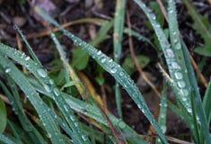 Gotas de lluvia en hierba del otoño Fotografía de archivo libre de regalías