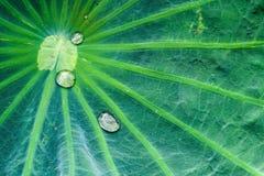 Gotas de lluvia en la hoja del loto Foto de archivo libre de regalías