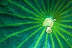 Gotas de lluvia en la hoja del loto Fotografía de archivo