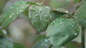 Gotas de lluvia en la hoja Rose Highlights almacen de video