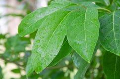 Gotas de lluvia en las hojas Fotografía de archivo