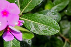 Gotas de lluvia en las hojas de la flor Imagen de archivo