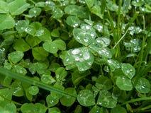 Gotas de lluvia en las hojas del trébol fotos de archivo