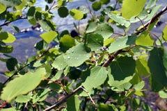 Gotas de lluvia en las hojas en tiempo soleado Fotografía de archivo libre de regalías