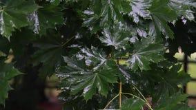 Gotas de lluvia en las hojas verdes almacen de metraje de vídeo