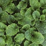 Gotas de lluvia en las hojas verdes frescas. Fondo verde con las hojas adentro Fotografía de archivo libre de regalías