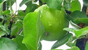 Gotas de lluvia en las manzanas y las hojas del árbol almacen de metraje de vídeo