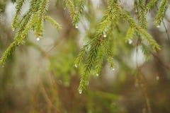 Gotas de lluvia en ramas de la picea foto de archivo libre de regalías