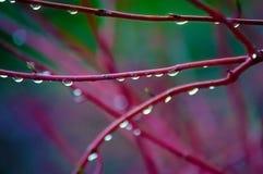 Gotas de lluvia en ramas rojas imagen de archivo