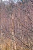 Gotas de lluvia en árbol de abedul Fotografía de archivo libre de regalías