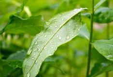 Gotas de lluvia en una hoja Foto de archivo libre de regalías